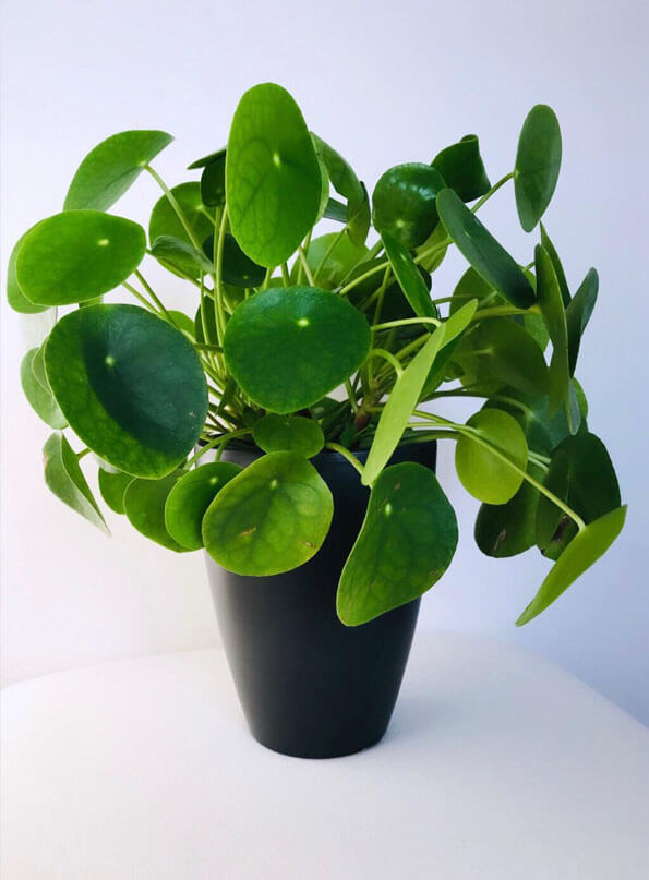 Pilea Peperomioides (Chinese Money Plant) | Our House Plants on common fern names, tropical plants and names, common tree names,