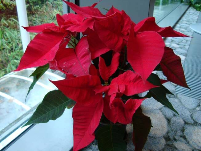 traditional poinsettia in vivid red and green - Red Flowering House Plants