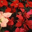 Modern Poinsettias like this one comes in many colours and leaf patterns