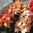 Three different Poinsettia plants including Premium Apricot and Cinnamon Star, taken by Max Wahrhaftig