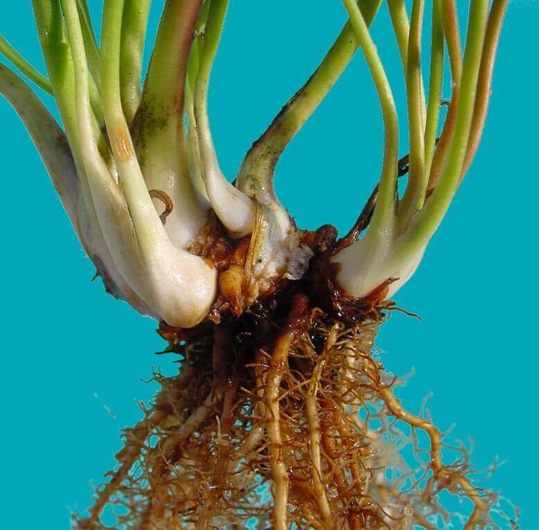Sarracenia-pitcher-plant-L1 Selling Houseplants on