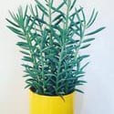 Senecio aquarine Mount Everest