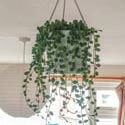 A Senecio houseplant being grown in a hanging basket photo by Ash