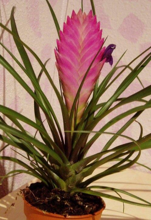 Tillandsia Cyanea Linden Ex K Koch: Pink Quill / Blue Flowered Torch (Tillandsia Cyanea