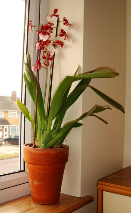 Vuylstekeara Orchid Cambria Orchid Guide Our House Plants