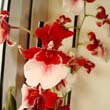 Red and white Cambria Orchid flowers