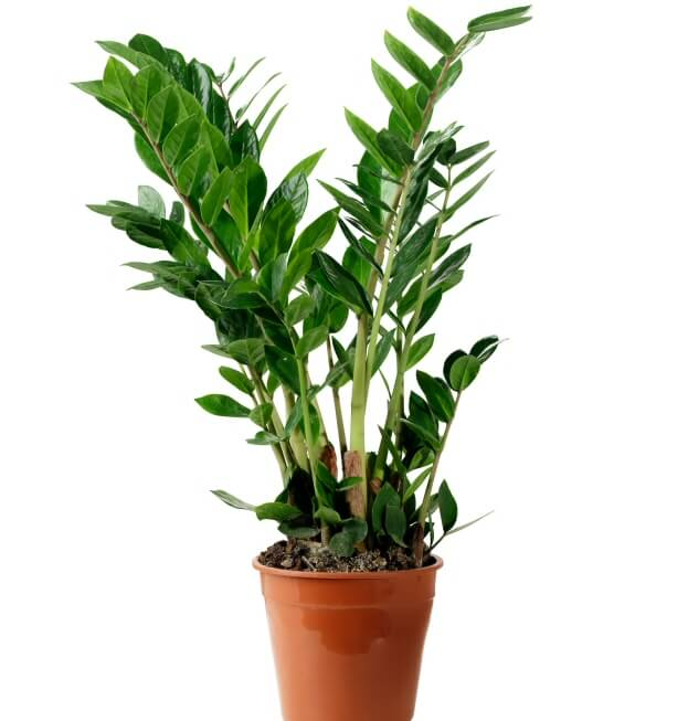 Zz plant zamioculcas zamifolia our house plants for Plante interieur ikea