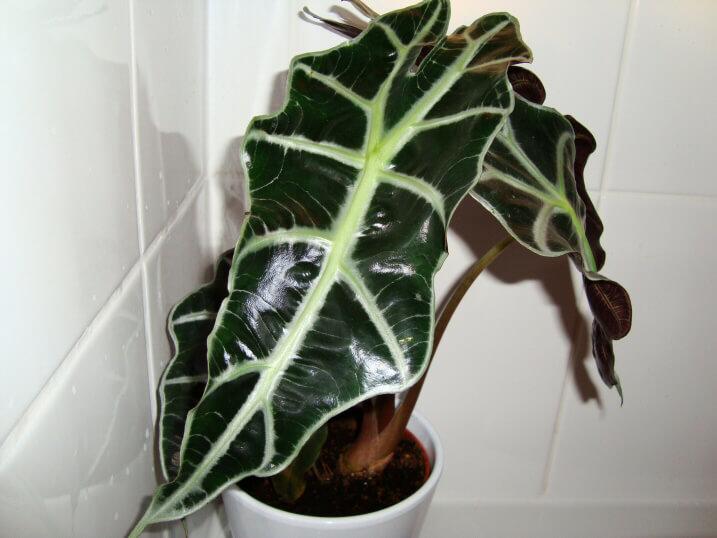 Alocasia Kris Plant Elephant Ear Our House Plants