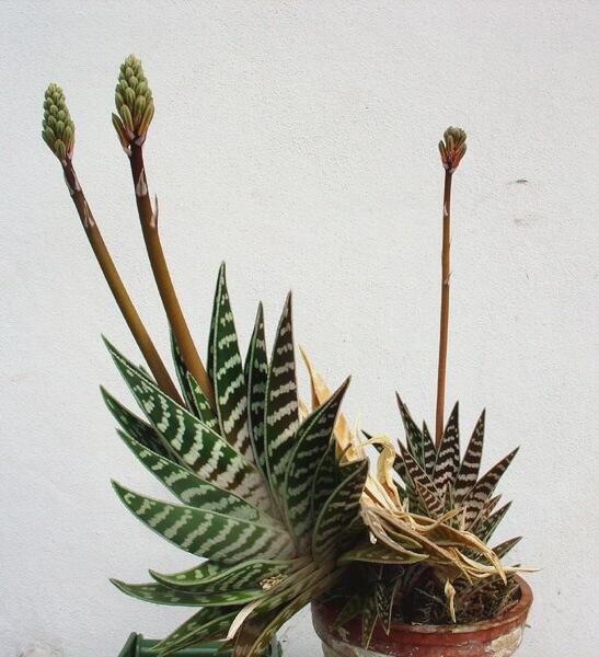 Aloe Barbadensis Aloe Vera Guide Our House Plants
