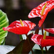Anthurium with several red flowers by Mike Bird