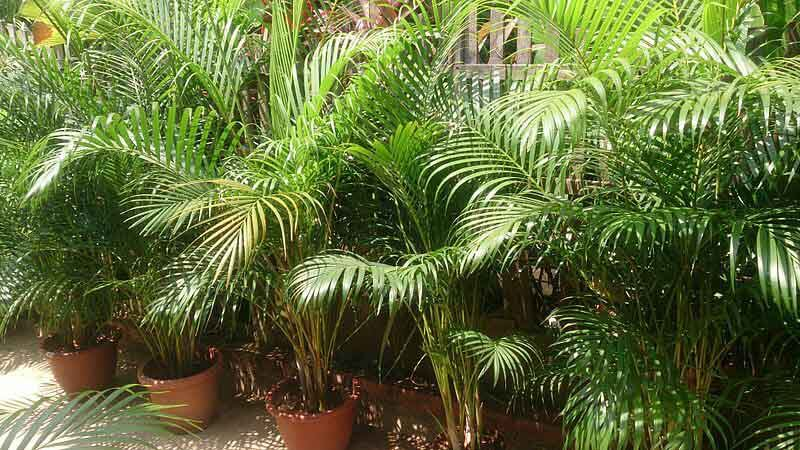 Several healthy looking Areca Palms by Mokkie