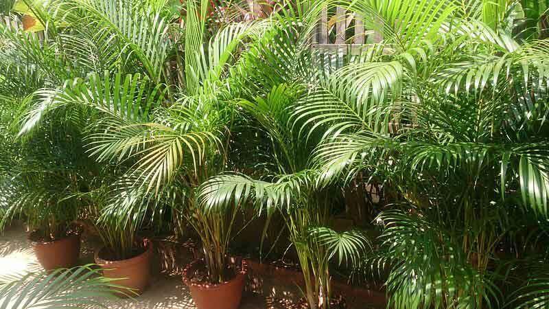 Kết quả hình ảnh cho Areca Palm