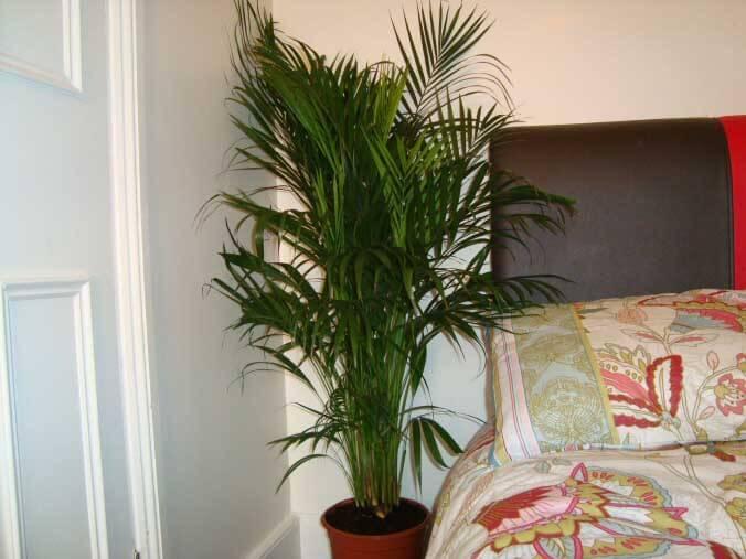 areca palm indoor