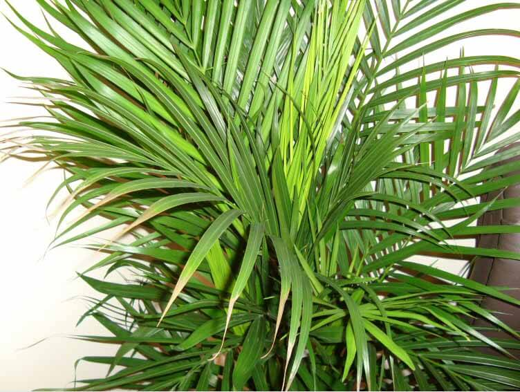 areca palm care instructions
