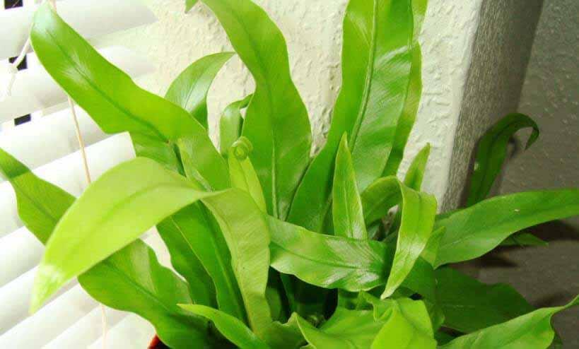 Bird's Nest Fern (Asplenium nidus) Guide | Our House Plants
