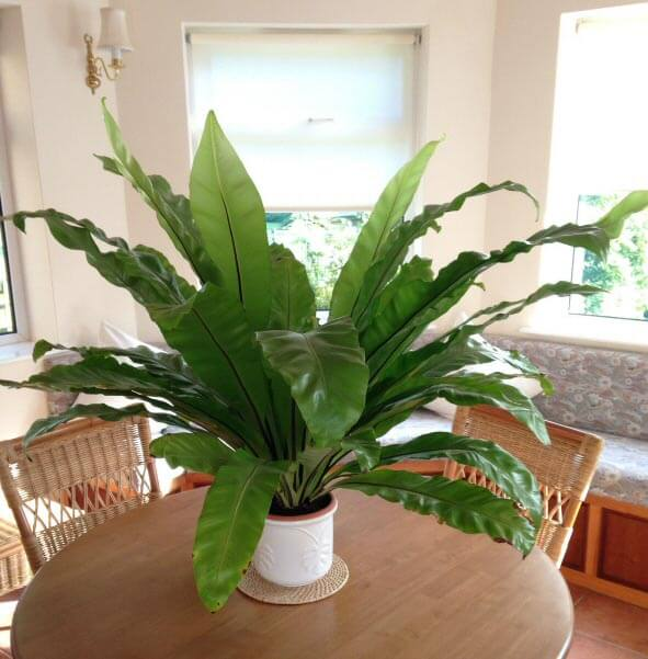 interesting fern house plants. Birds Nest Ferns do well in quite small pots  but you must still repot them Bird s Fern Asplenium nidus Our House Plants