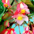 Begonia corallina in flower by Cocotaru