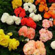 Tuberous Begonias on display at the Hampton Court Flower Show by Darorcilmir