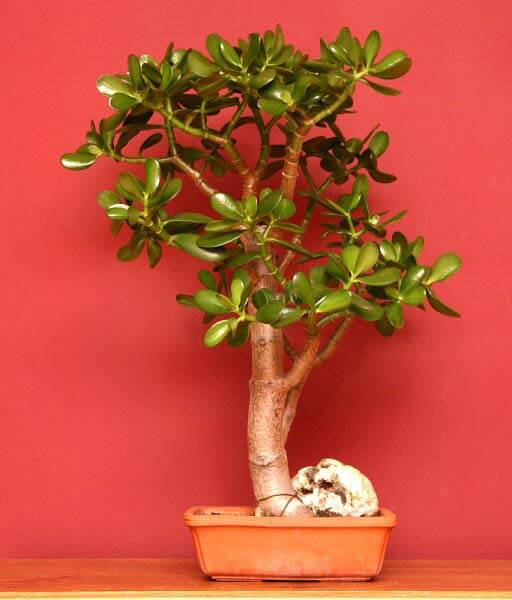 Bonsai Tree Guide Our House Plants
