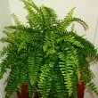 Boston Fern or Nephrolepis exaltata Bostoniensis