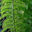 The leaf spores of the Boston Fern by David Eickhoff