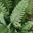 The Boston Fern has graceful green, drooping fronds that will look great in your home