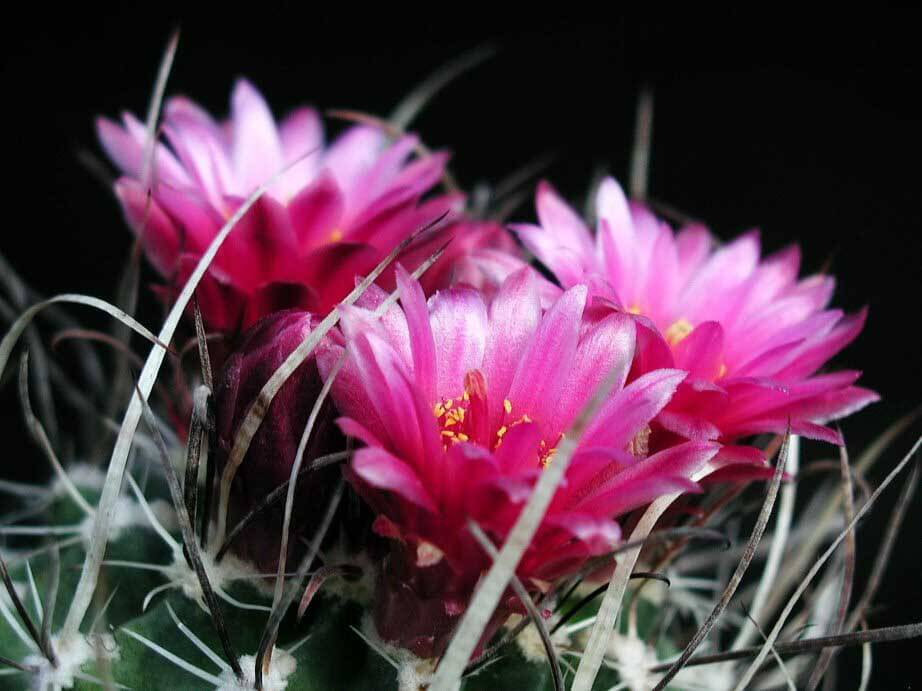Cactus desert type our house plants flowering cactus by paolo neo mightylinksfo