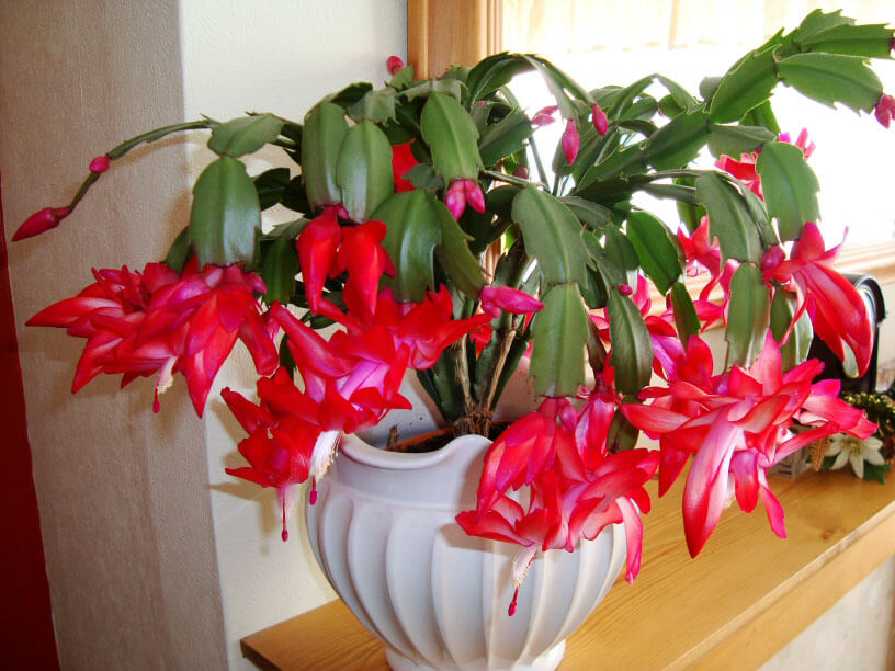 Christmas Cactus In Full Flower Early December With Many Buds Still To Open