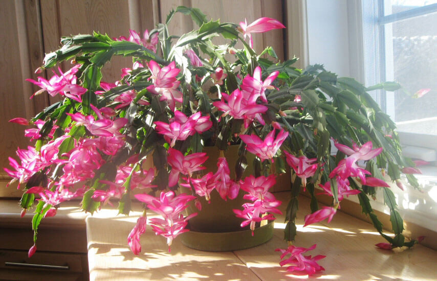 Christmas Cactus Plant In A Kitchen