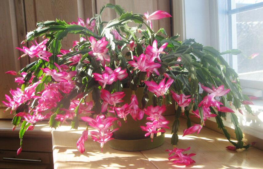 can i use regular potting soil for christmas cactus
