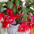 Christmas Cactus in full display in early December with many buds still to open