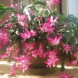 Christmas Cactus plant in a Kitchen. Photo by Empereur Day