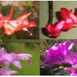 Six different Christmas Cactus plants