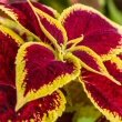 Fantastic photo showing the amazing colours of a Coleus Blumei Hybrid by Hedwig Storch