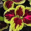 Coleus Red Houseplants by Kong