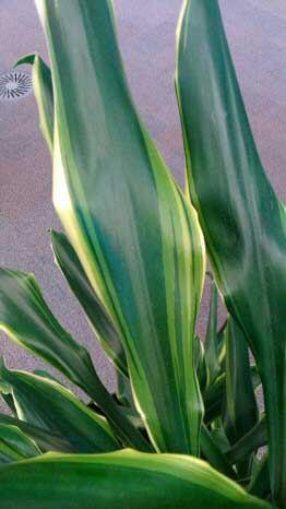 corn_plant_dracaena_fragrans1L Different Corn Houseplants on corn yellow, corn palm, corn leaves, corn photography, corn fertilizer, corn irrigation, corn weed, corn food, corn border, corn soil, corn leaf tree, corn white, corn agriculture, corn grass, corn fruit, corn potatoes, corn growing, corn ornamental,