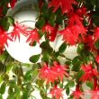 Easter Cactus hanging down from a white basket by Kor!An