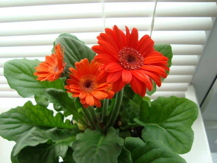 a gerbera with red flowers being kept and grown as a house plant