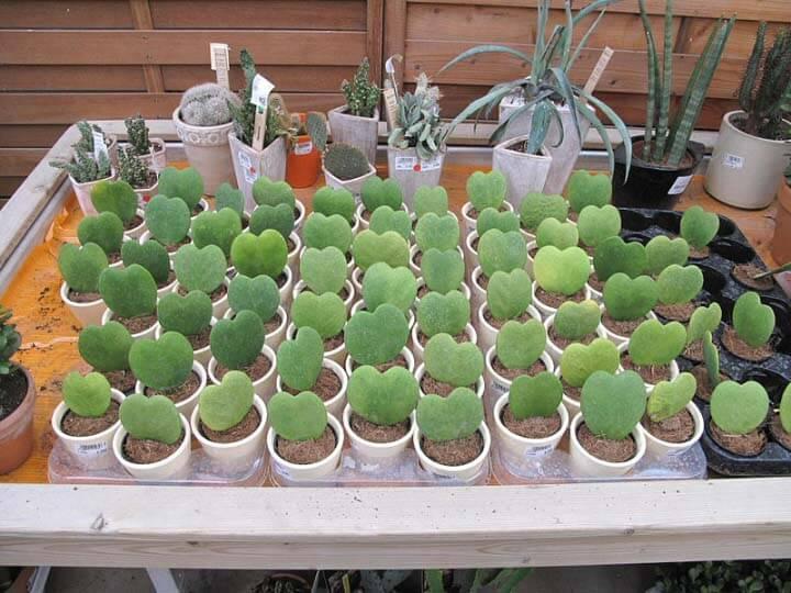 Hoya Kerrii Sweetheart Plant Valentine Hoya Guide Our House Plants
