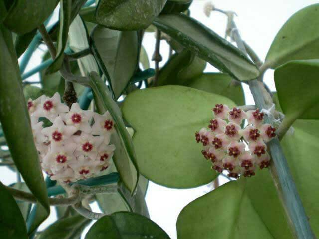Hoya Kerrii Sweetheart Plant Valentine Hoya Guide Our House Plants