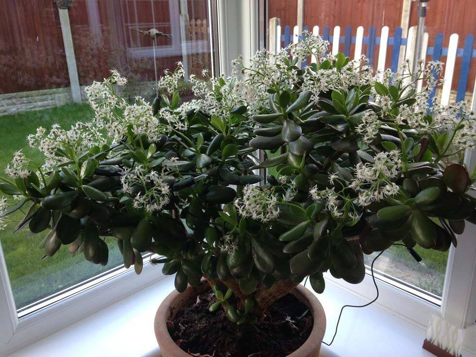 Money Plant Jade Plant Crassula Ovata Guide Our House Plants