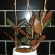 Modern settings and pots are perfect for the Jewel Orchid