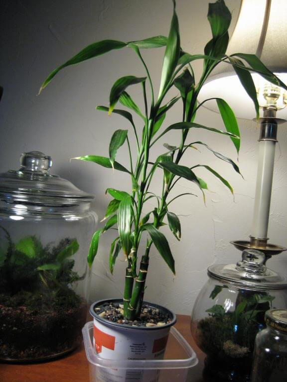 A Tall Lucky Bamboo Indoor Houseplant   By Lilkittay