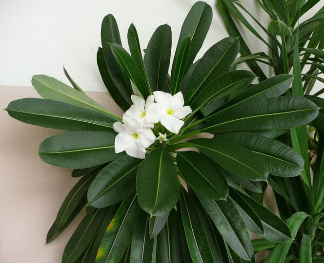Pachypodium Lamerei Madagascar Palm Guide Our House Plants
