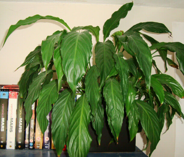 peace lily on the edge of a bookshelf - House Plant Identification Guide By Picture