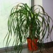 Beaucarnea Recurvata A.K.A the Ponytail Palm, sitting on a bright window ledge