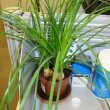This office desk is made more cheerful with Three small Ponytail Palms in a pot