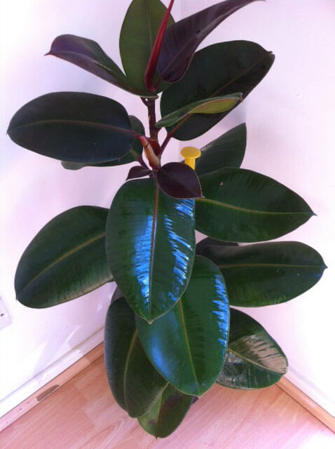 A Ficus Elastica Growing In Living Room Corner