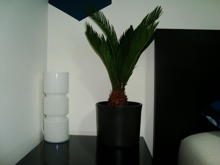 Sago Palm Cycas Revoluta Guide Our House Plants