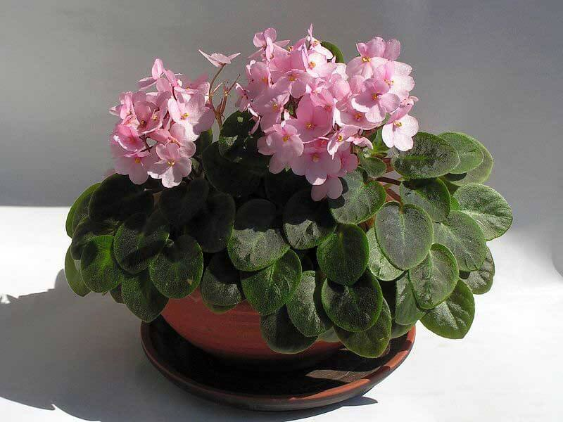 African violet saintpaulia guide our house plants african violet plant with pink flowers by bff mightylinksfo